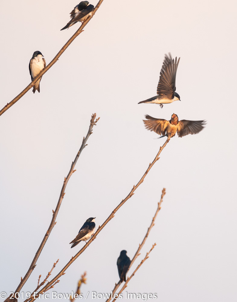 Swallows in the Morning by Eric Bowles