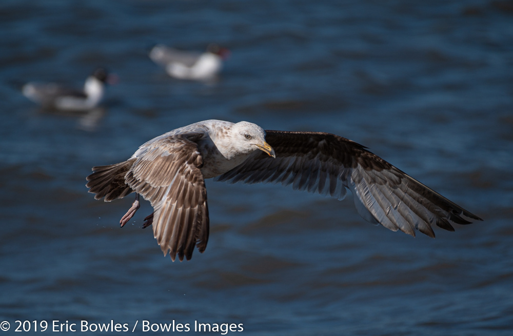 Gulls in flight by Eric Bowles