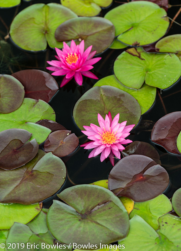 Water Lilies by Eric Bowles