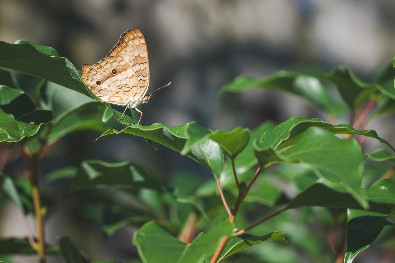 White Peacock Butterfly by Taj Dempsey