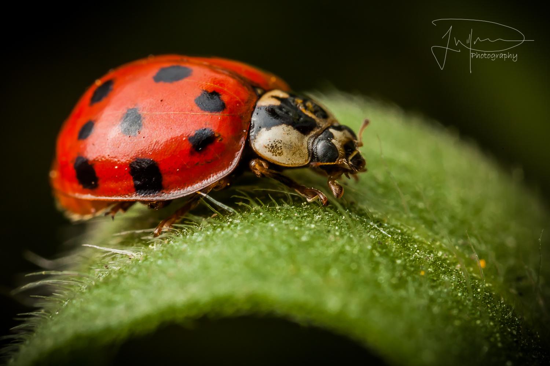 Ladybug  by Jonathan Willner
