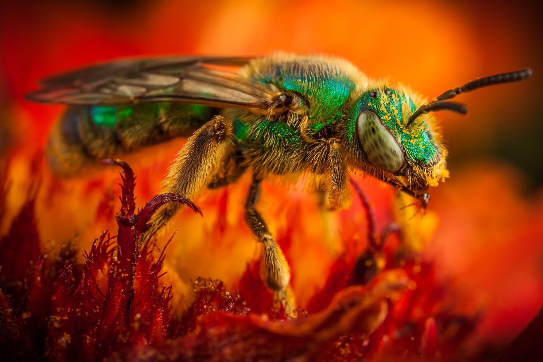 Green metallic bee  by Jonathan Willner