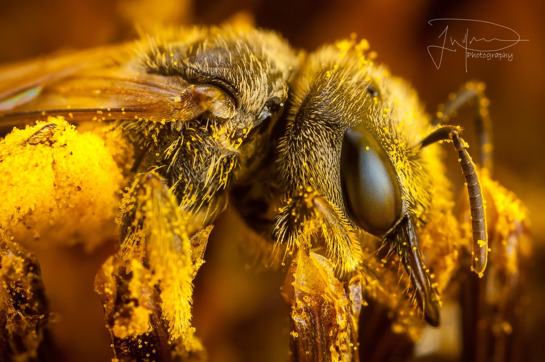 Sweat bee  by Jonathan Willner