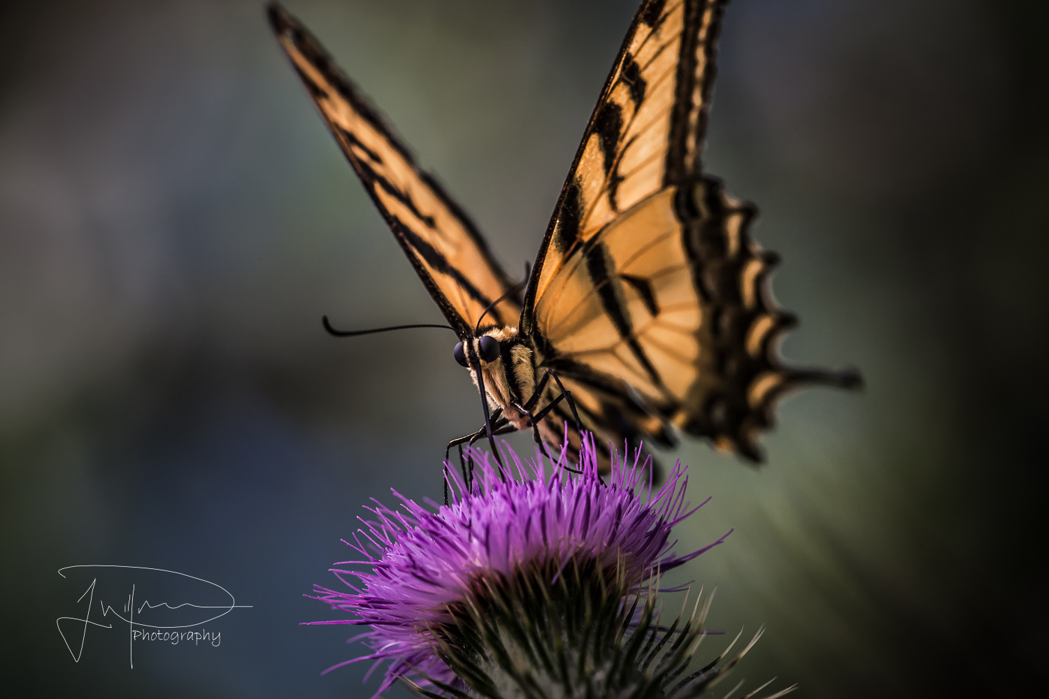 Western Tiger Swallowtail  by Jonathan Willner