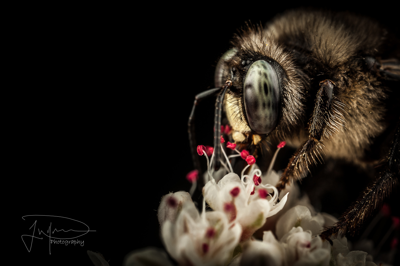 Mason bee  by Jonathan Willner