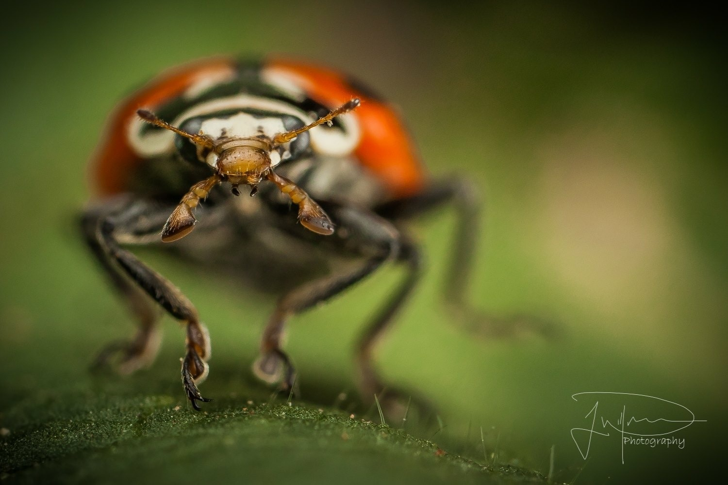 Ladybug out for a stroll  by Jonathan Willner