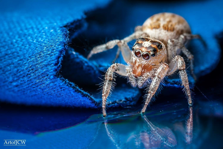Jumping Spider macro  by Jonathan Willner