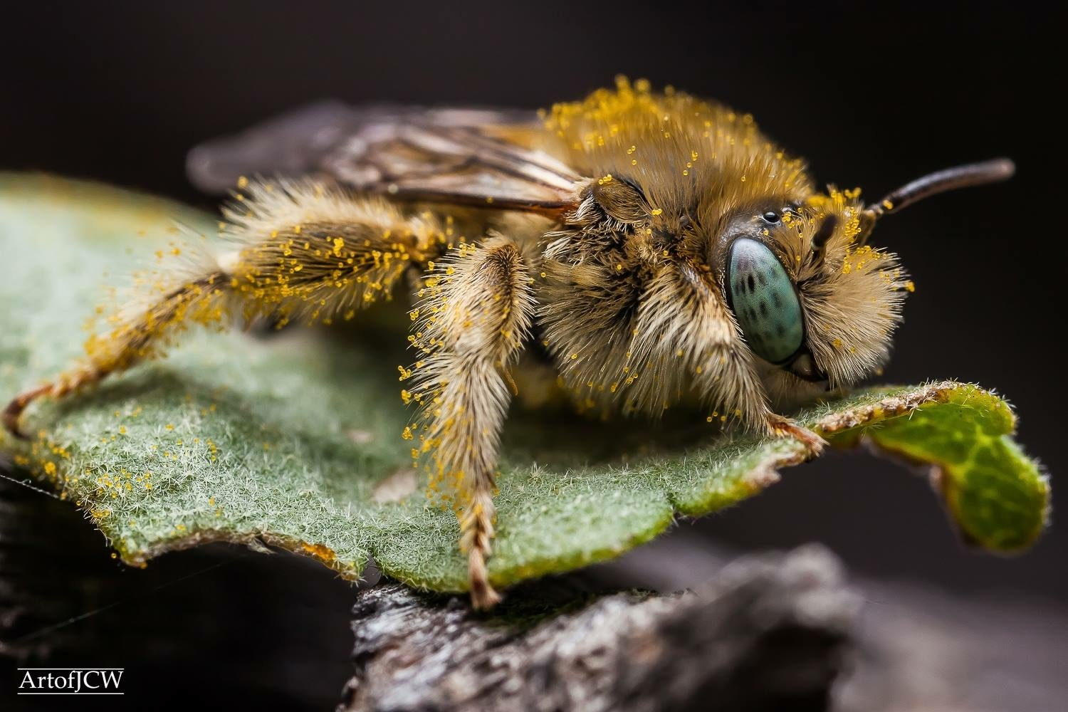 Mason bee on a leaf  by Jonathan Willner