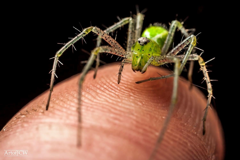 Venomous spider on my finger  by Jonathan Willner