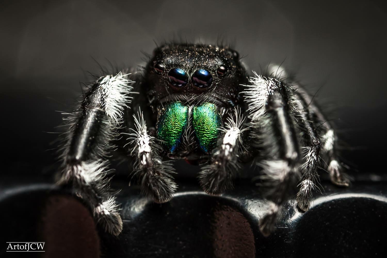 Phidippus Audax jumping spider  by Jonathan Willner