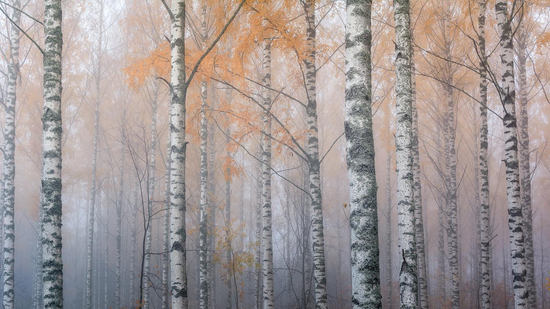 Birches in the Fog II by Jason Tiilikainen