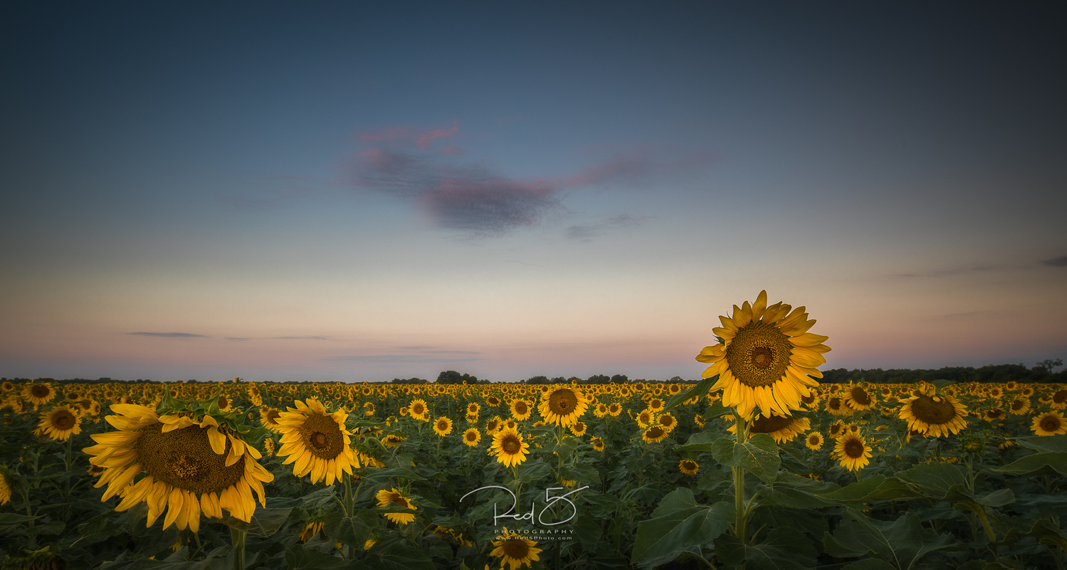 Sunflowers by Jason Squyres