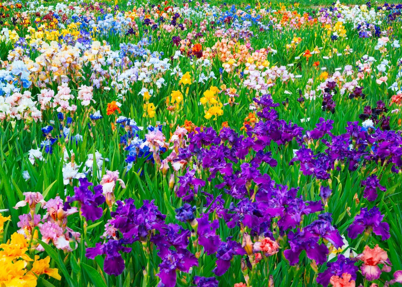 Iris Field by Matthew Potter