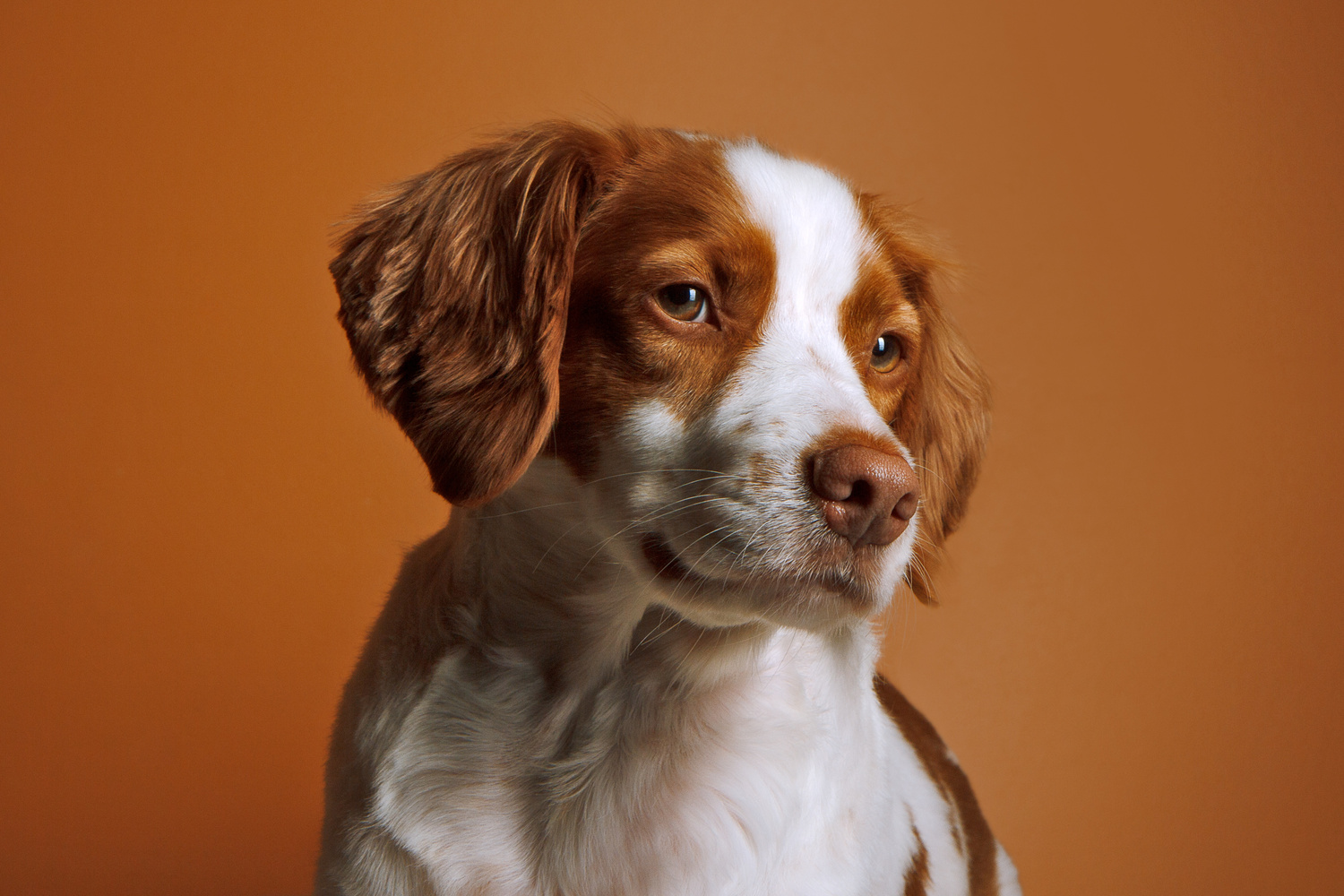 Brittany Spaniel - Mia by Robert Lee