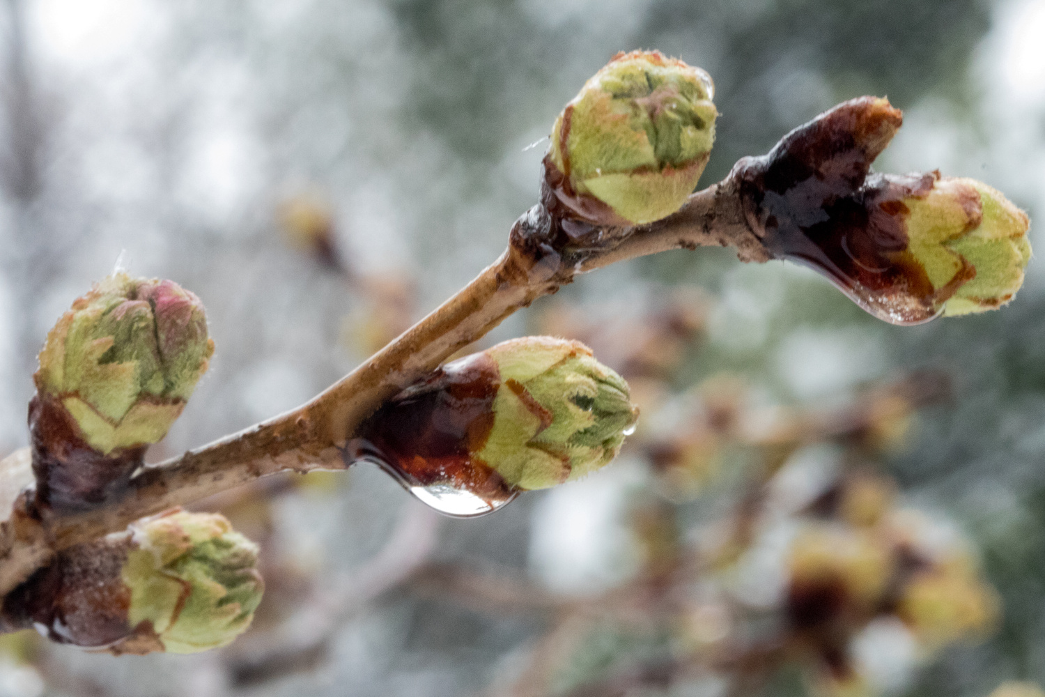 Cherry Blossom buds in the snow. by Paul FIlios
