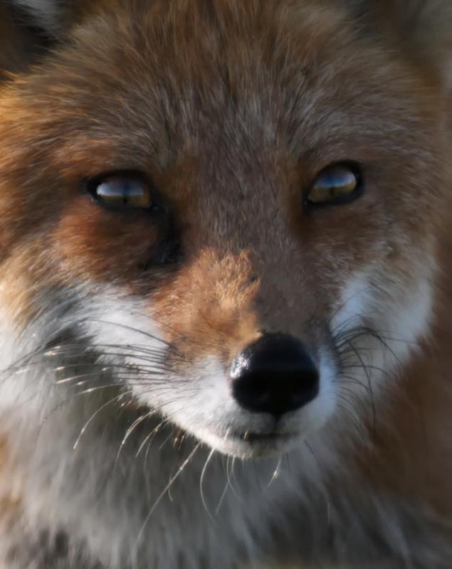 Foxy Portrait by Stuart Clark