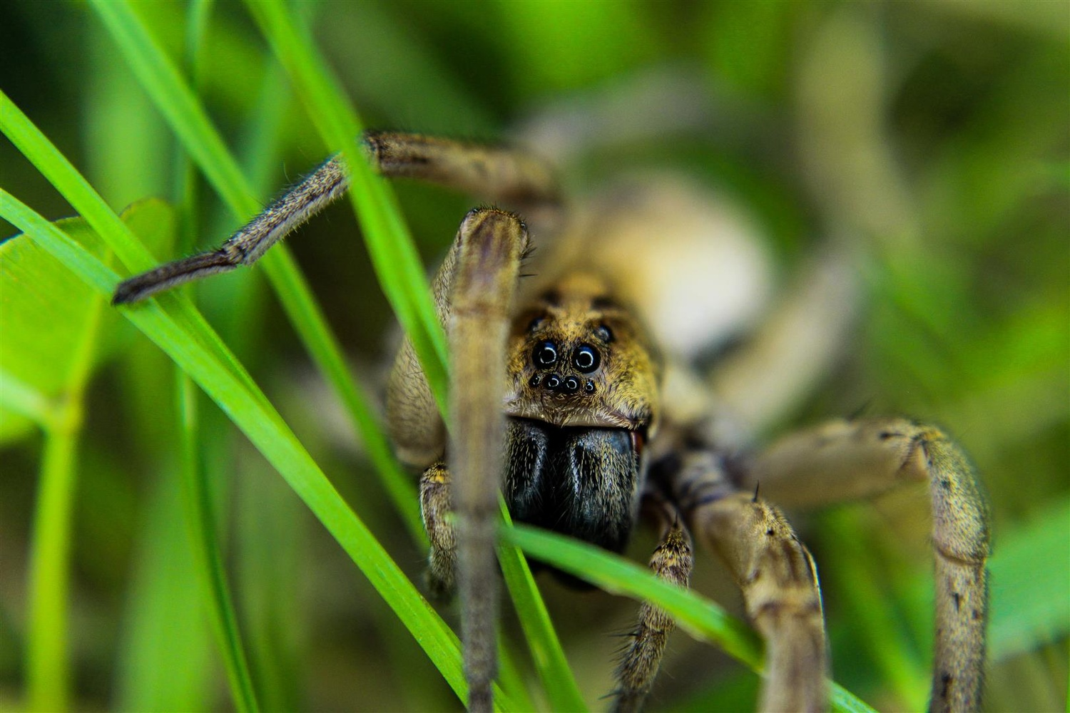 Wolf Spider by Andrew Smith