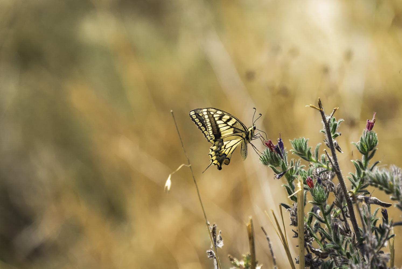 Papilio Rest by Kostya Levit Naddubov