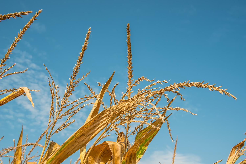 Corn by David Neesley