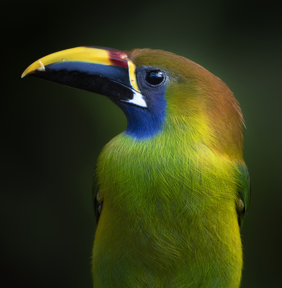 The Emerald Toucanet by Aritz Atela