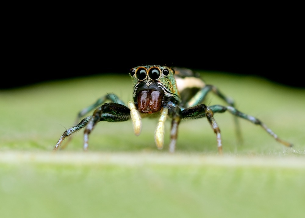Jumping Spider by Brad Cooper