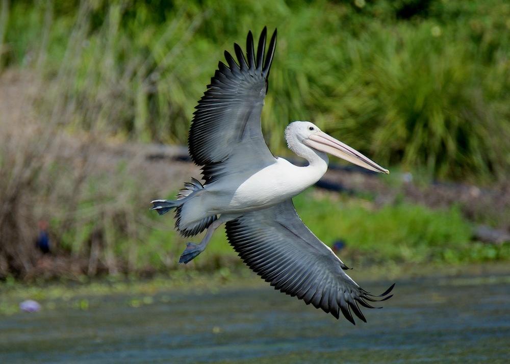 Pelican landing  by Brad Cooper