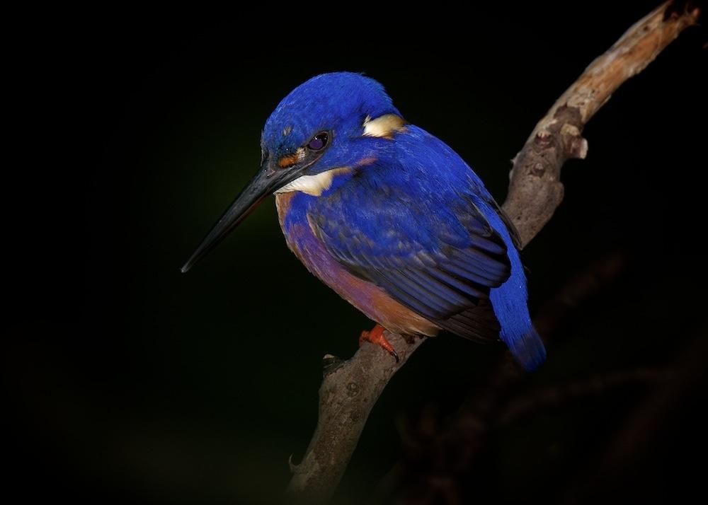 Azure Kingfisher by Brad Cooper