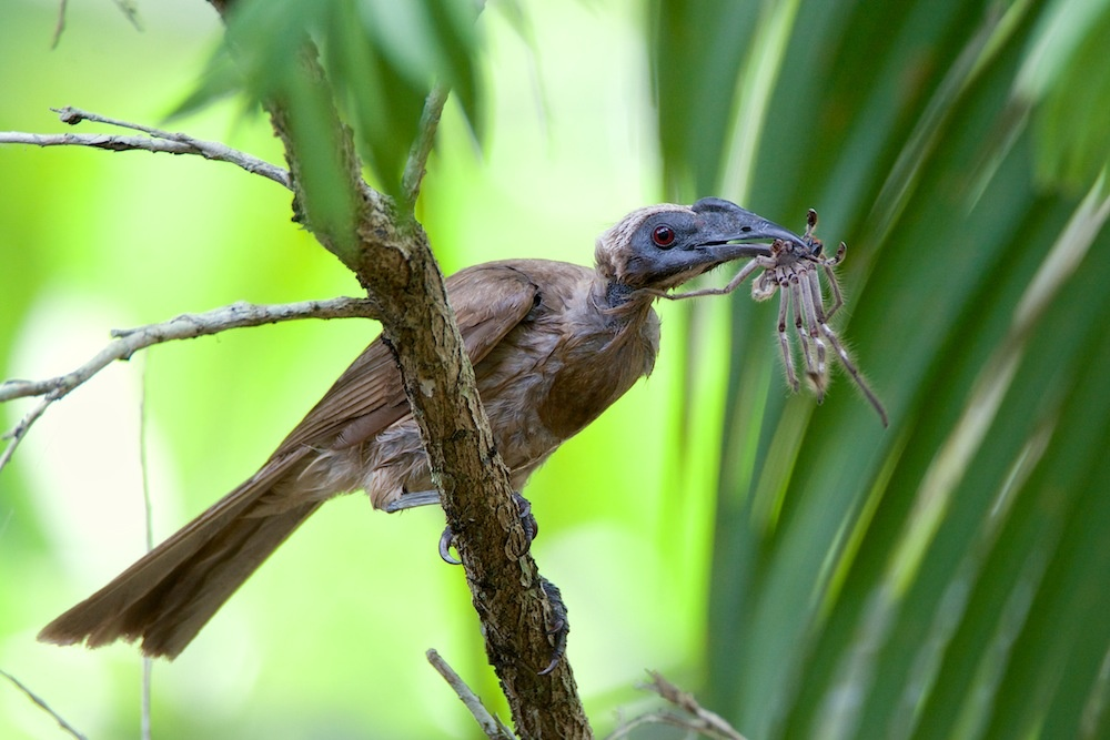 Helmeted Friarbird with lunch by Brad Cooper