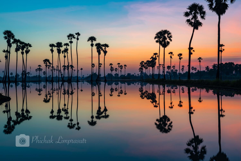 Silhouette of palmyra palm trees by Phichak Limprasutr
