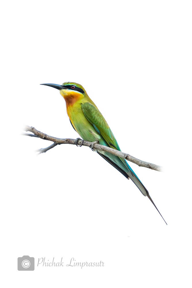 Blue-tailed bee-eater by Phichak Limprasutr