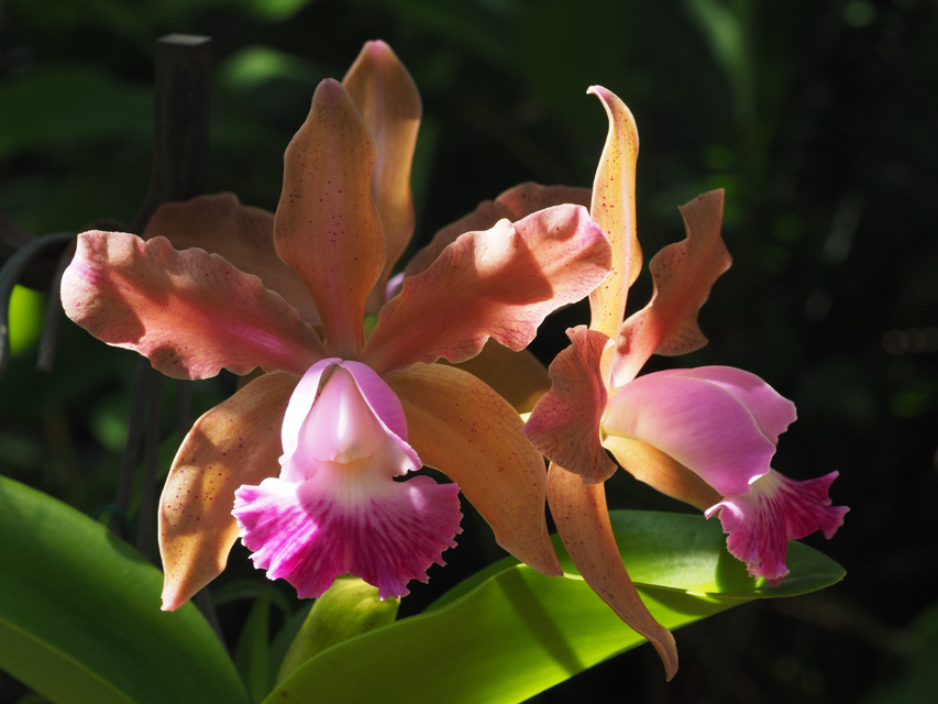 Cattleya type orchid by David Martin