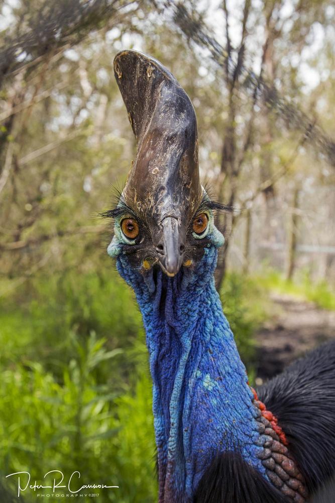Australian Cassowary by Peter Cannon