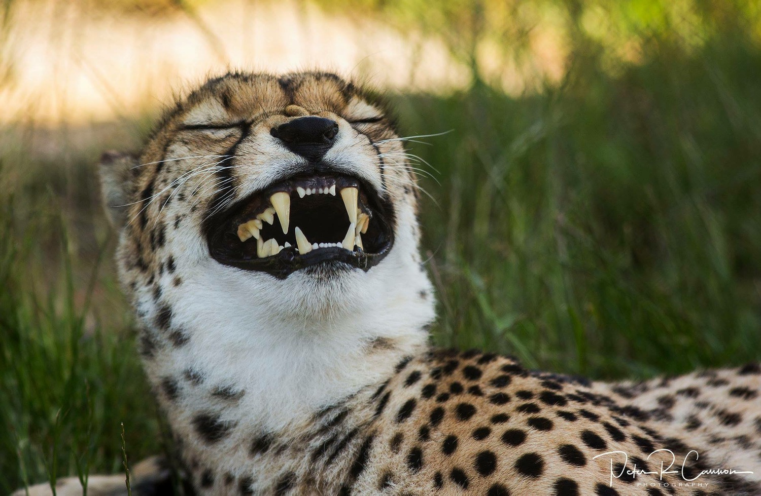 Laughing Cheetah  by Peter Cannon