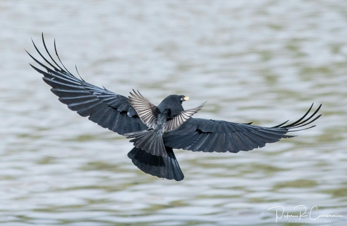 Wagtail rides Crow by Peter Cannon