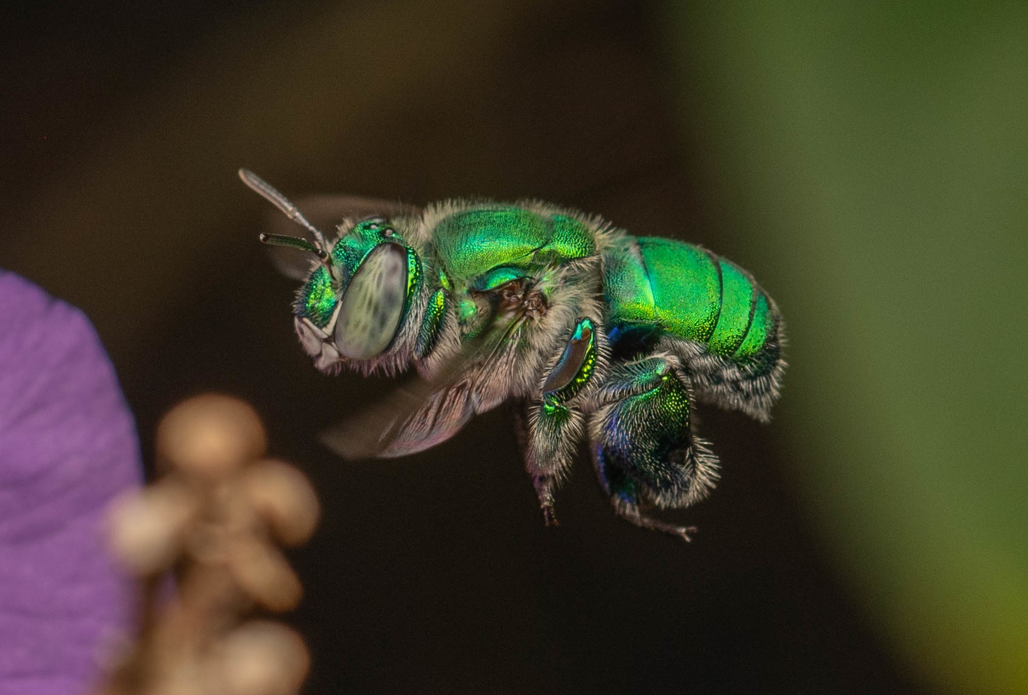 Orchid Bee by Hansul Hudson