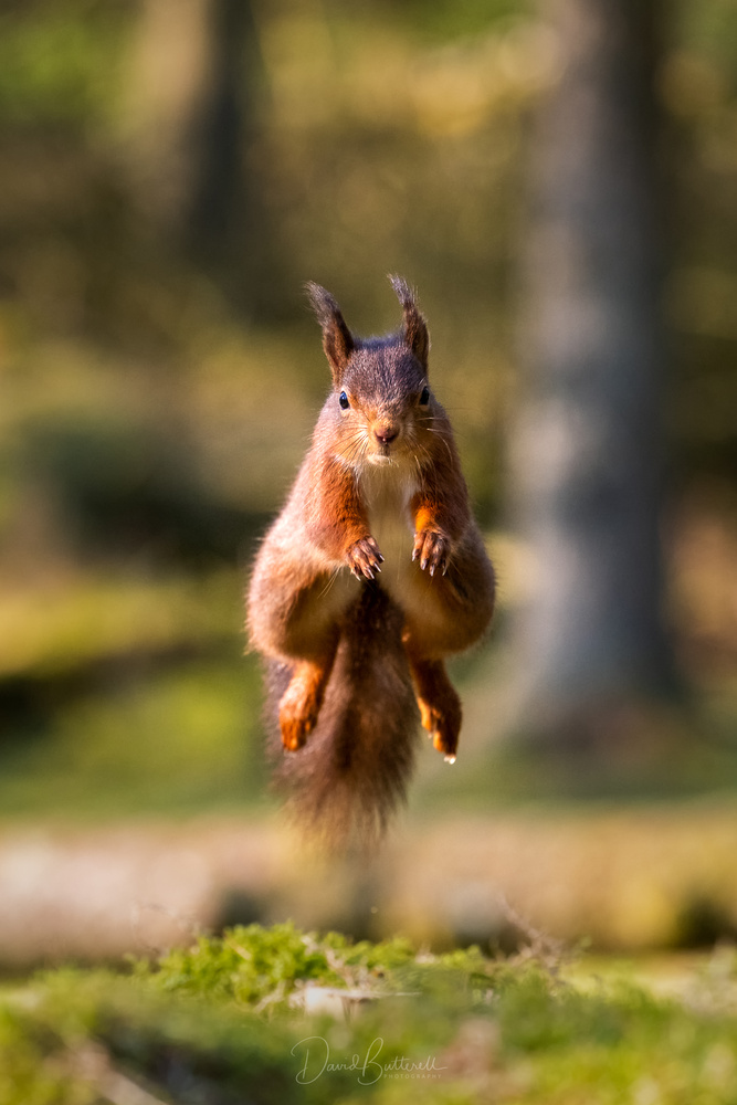 Leaping Red Squirrel by David Butterell