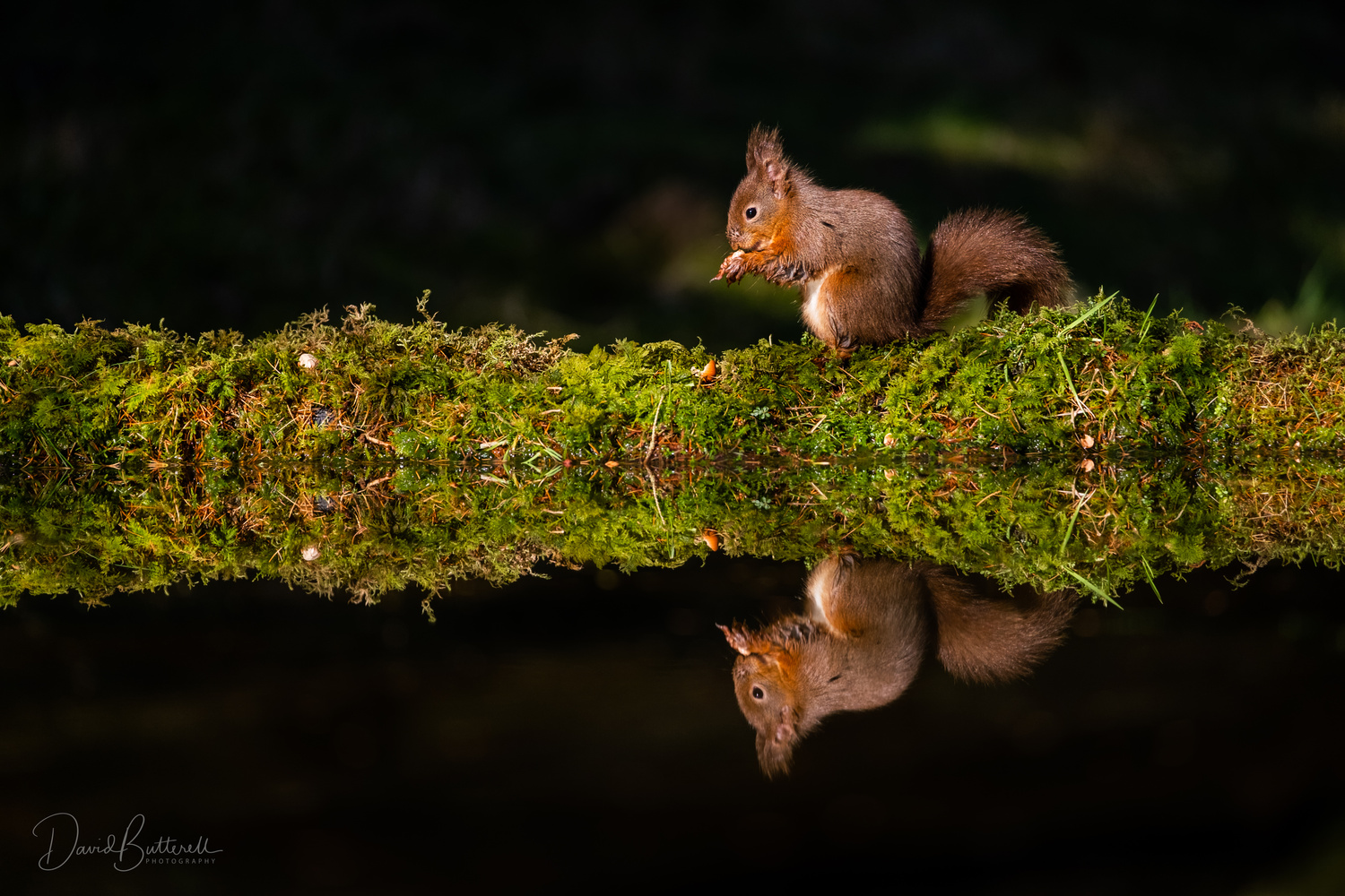 Red Squirrel Reflection by David Butterell
