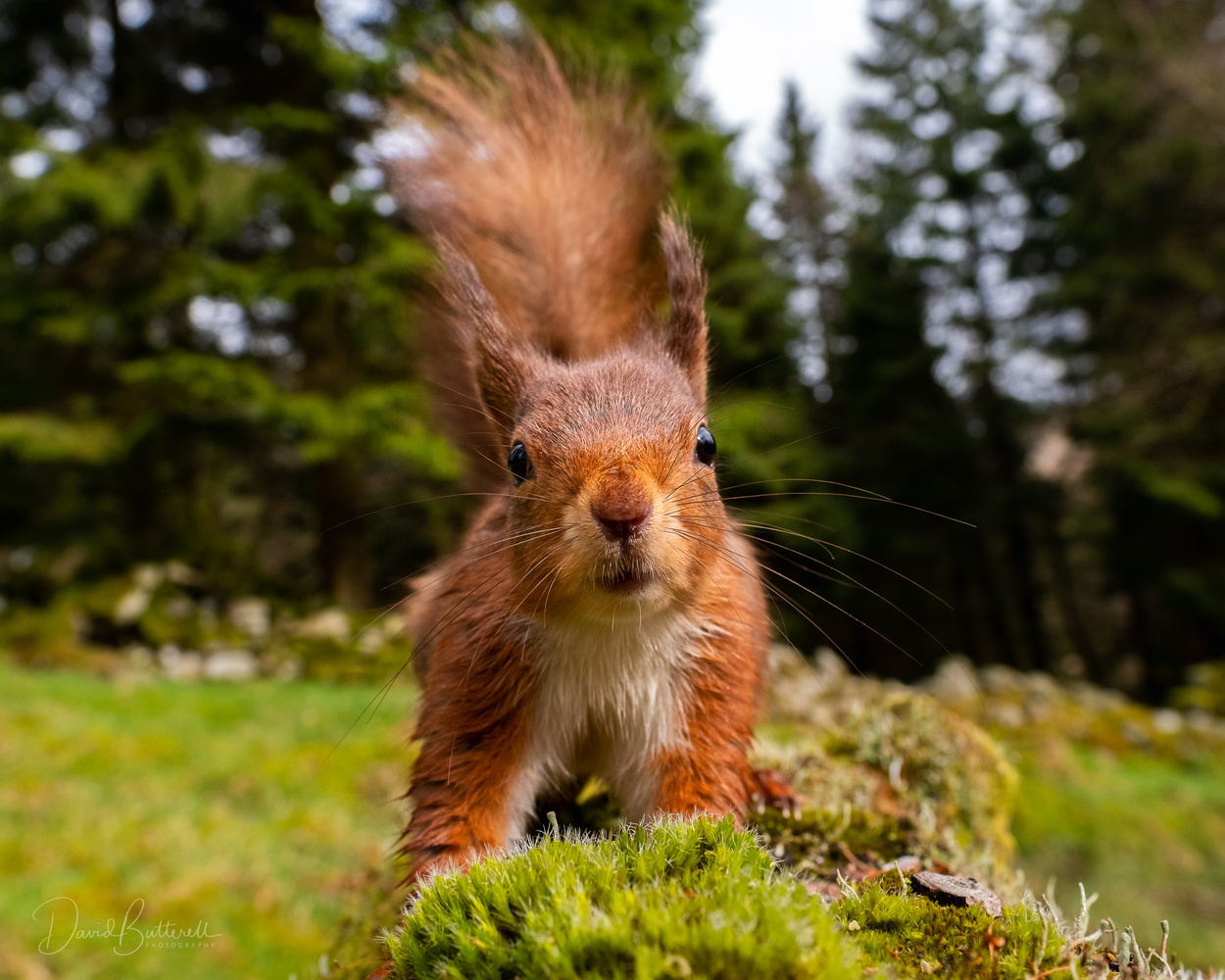 Red Squirrel Close-up! by David Butterell