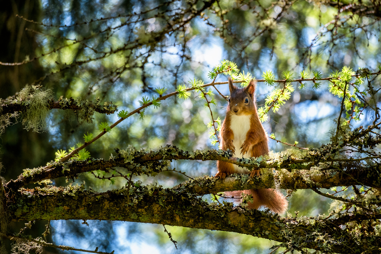 Red Squirrel by David Butterell