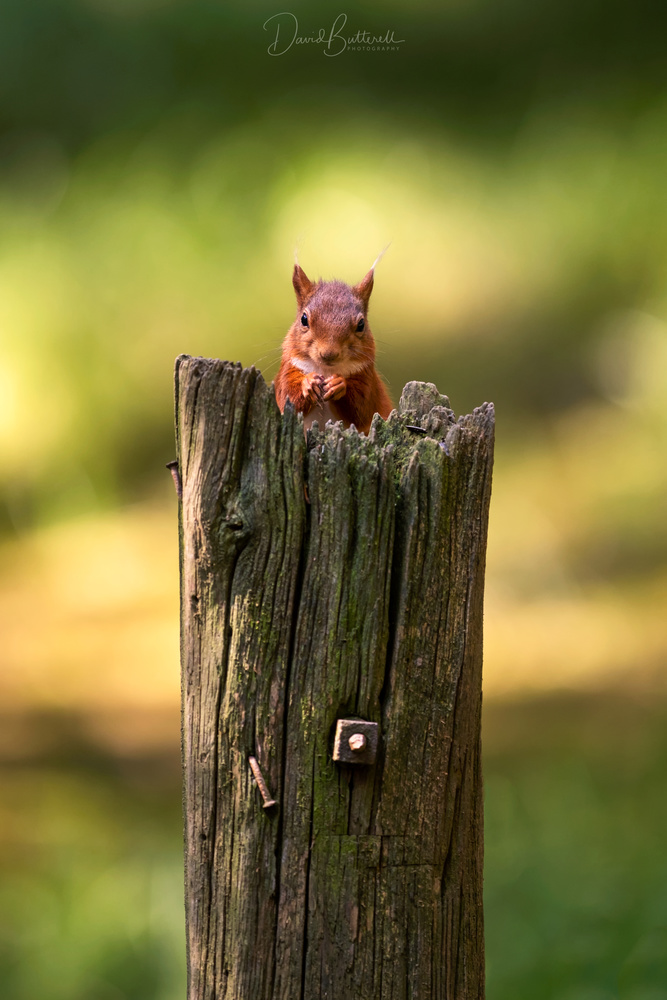 Red Squirrel & Rustic Post by David Butterell