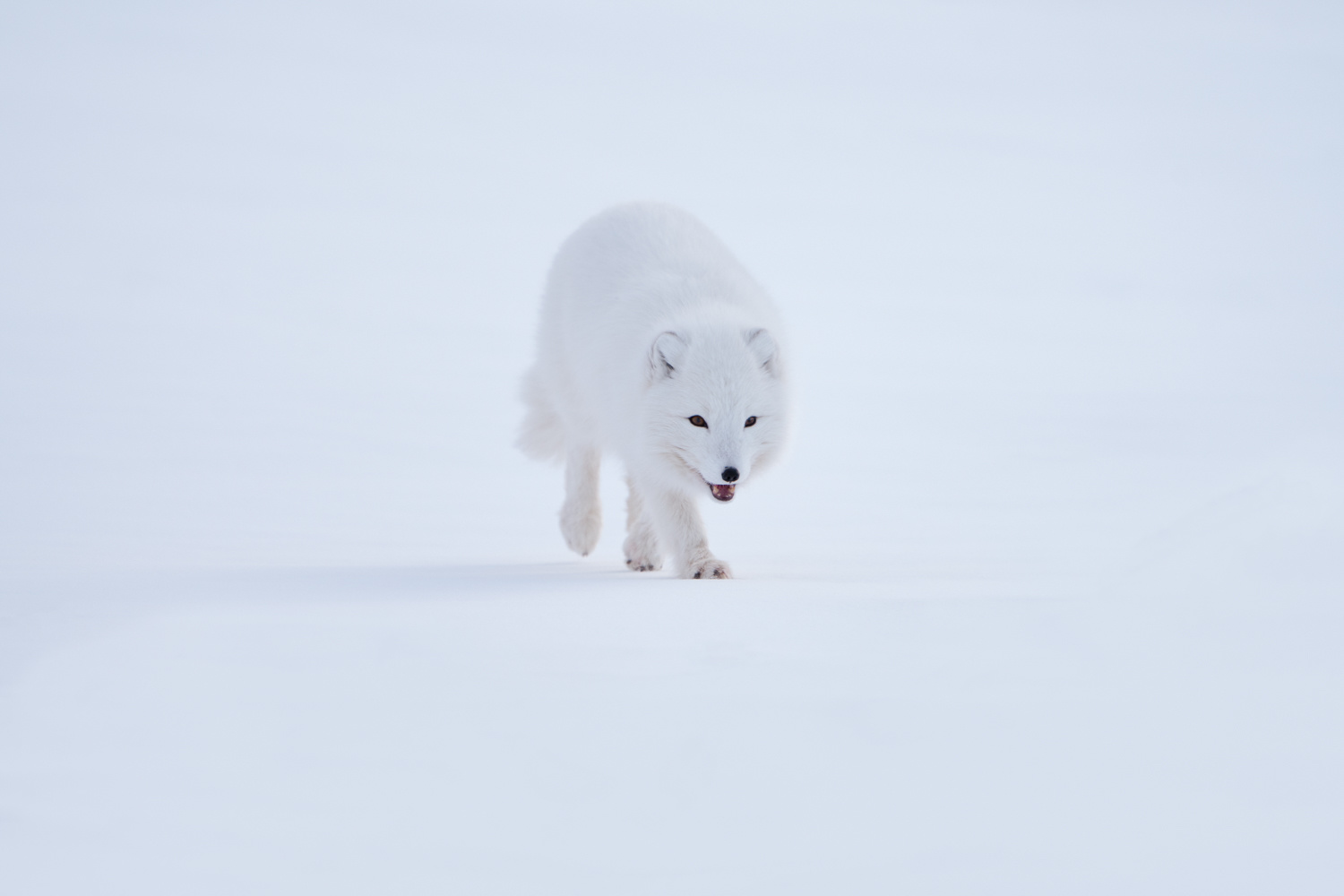 First encounter an arctic fox by Masahiro Ikeda