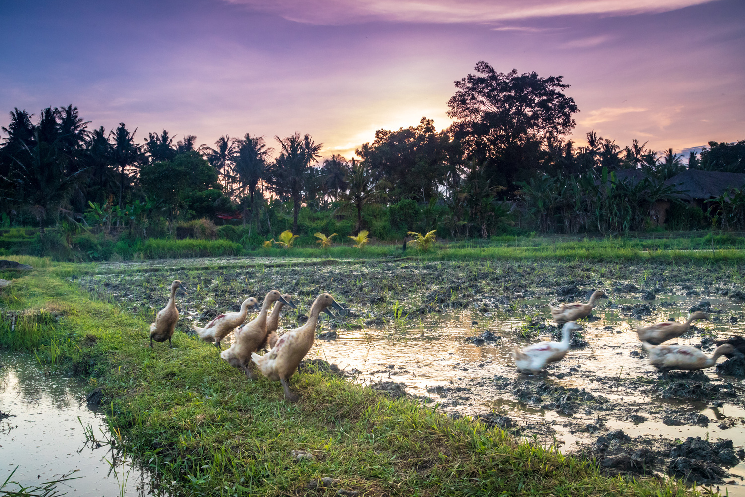 Home Time For Ducks by Robert Smith