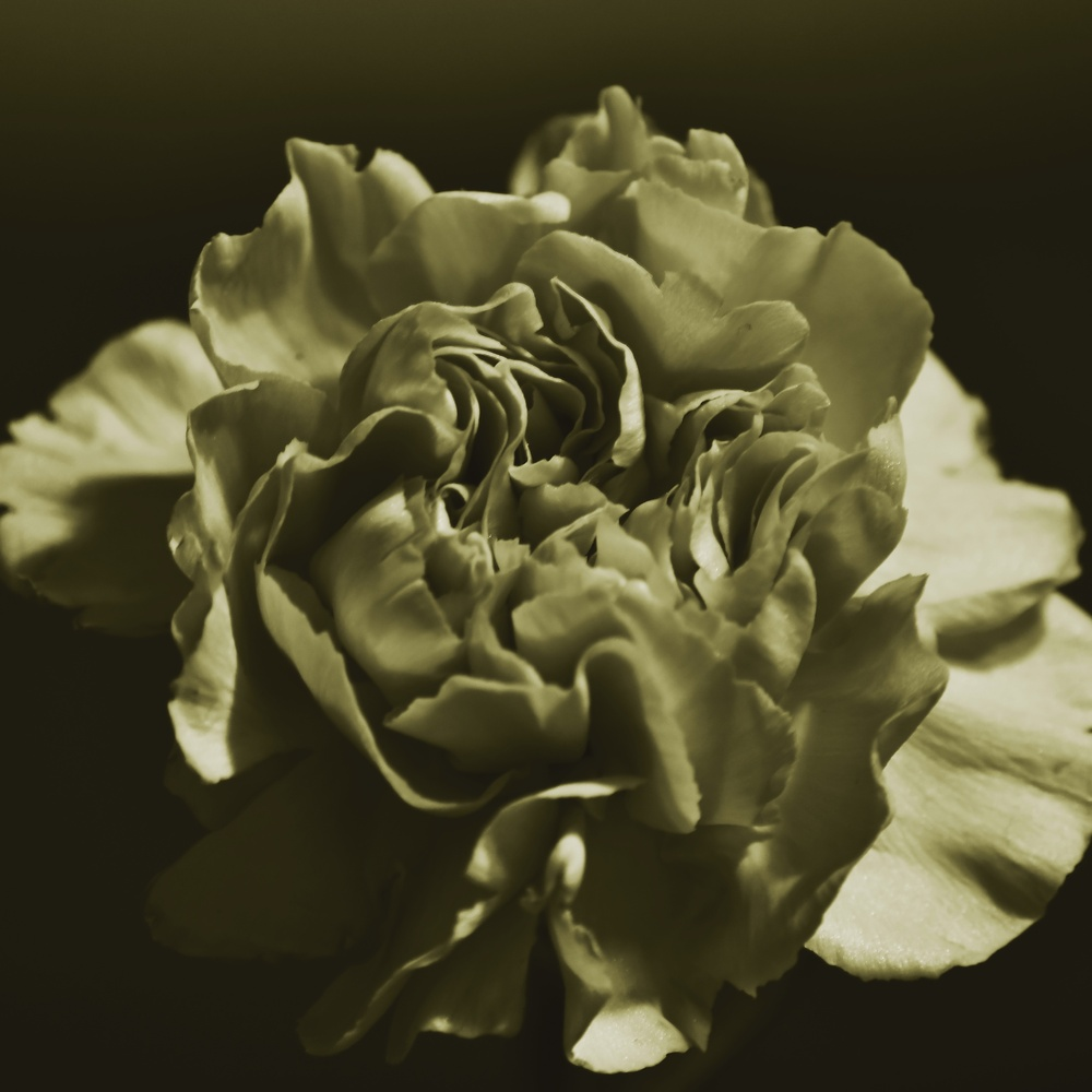 Carnation altered by Al Colon