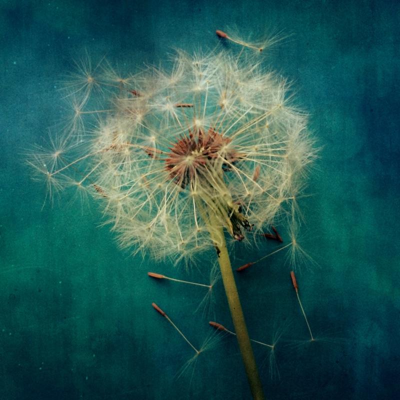 dandelion by kate hailey