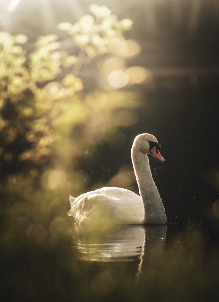 Swan at Sunset by William Faucher