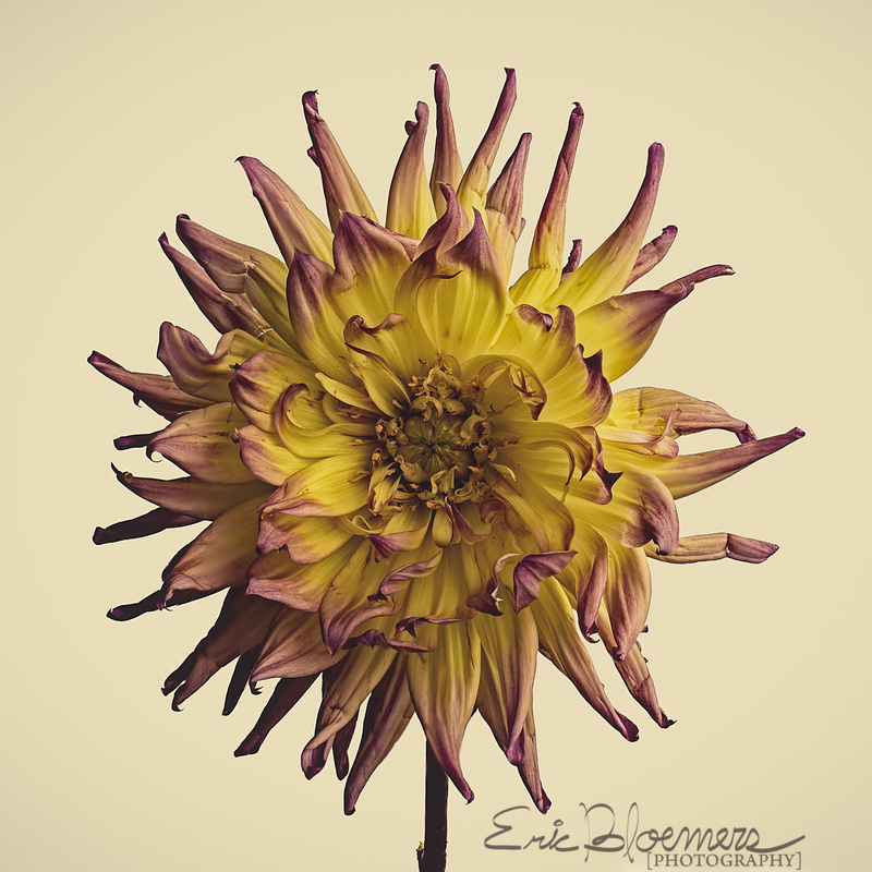 Dahlia by Eric Bloemers