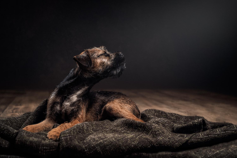 Yoda the Border Terrier by Sanna Vornanen