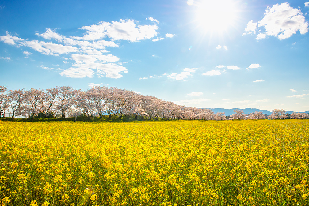 Canola field surrounded by Cherry Blossoms - JAPAN by L-A Paquette