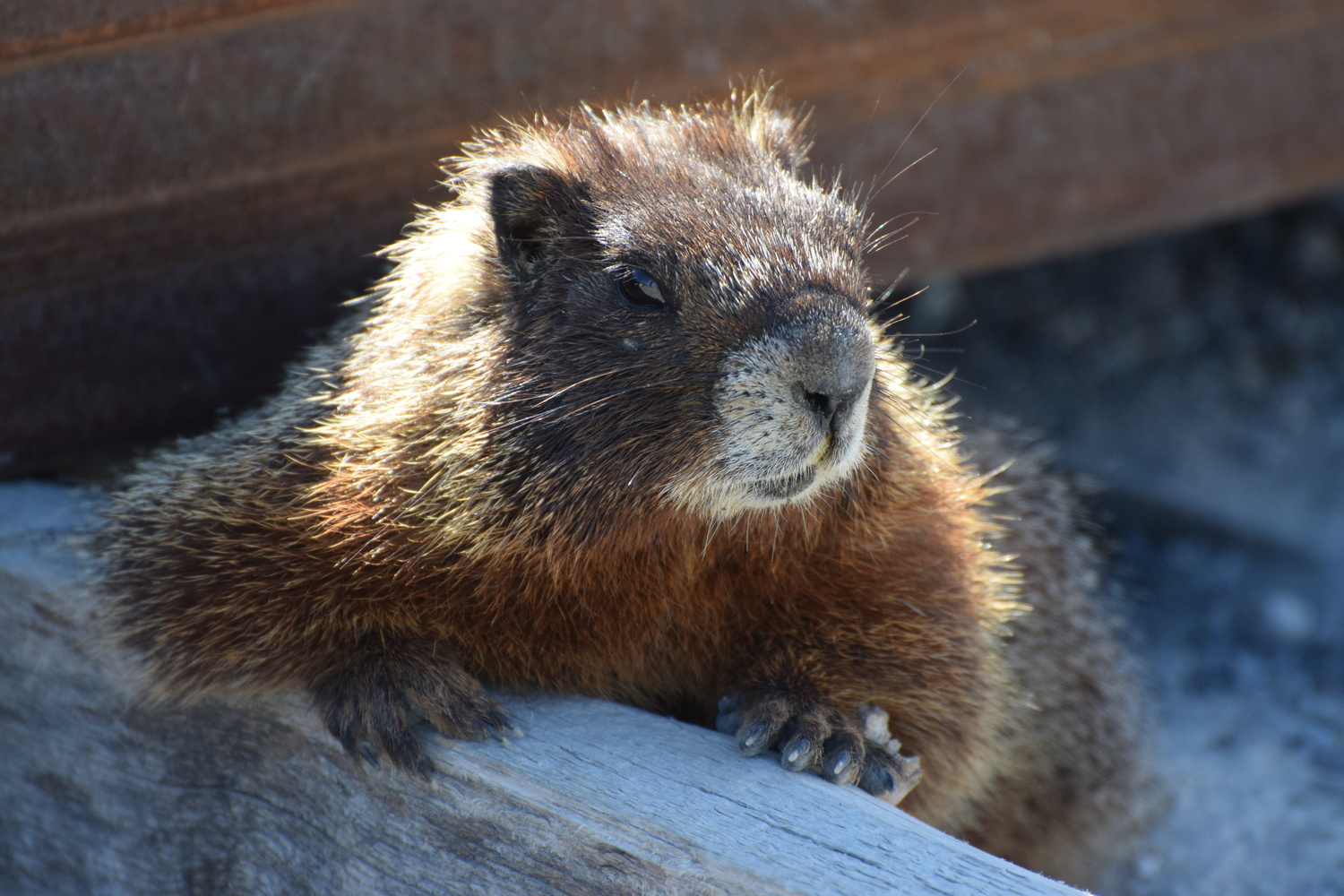 Marmot by James Phillips