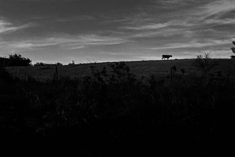 La vaca by OSVALDO VÁZQUEZ